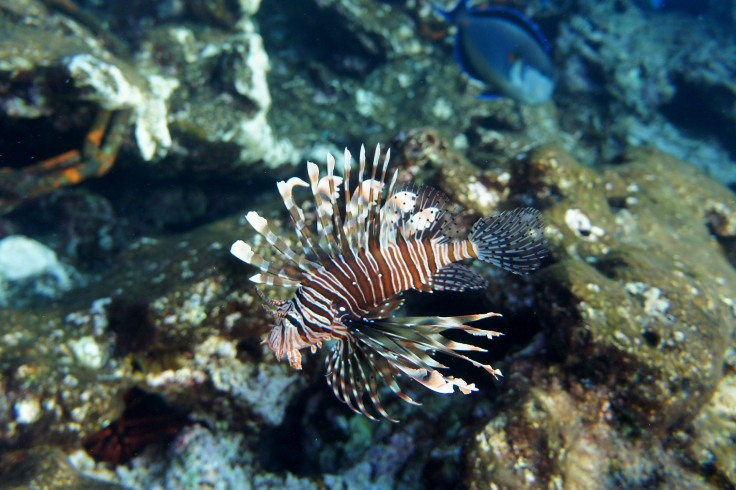 2_ocean-underwater-biology-fish-fauna-lionfish-650246-pxhere.com copy.jpg
